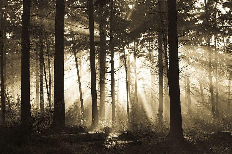 Boomstam - Zonnestralen in een nevelig bos