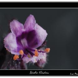 Rode Basilicum bloem