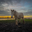 white horse sunset