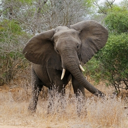 olifant dreigen.jpg