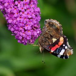 Vlinder op z'n kop