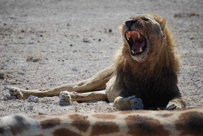 Gewonde Leeuw verdedigd kill giraffe  - Erg magere en Gewonde Leeuw verdedigd zijn net gedode giraffe als we aan komen rijden. Ligt direct naast de we