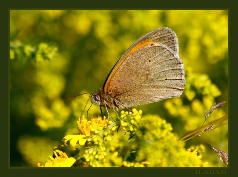 Geslaagd!! Zo trots. - trots ben ik, zowel op deze foto, mijn eerste mooie scherpe vlinder in het wild, met de telelens gemaakt (niet eens met de macr