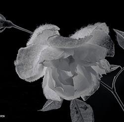 frozen rose...