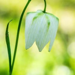 witte kievietsbloem