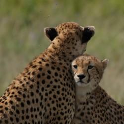 Moeder cheeta met jong