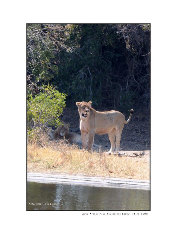 Leeuw - Tijdens onze safari in Zuid Afrika hebben wij ook het Paul Krugerpark bezocht. In eerste instantie werd onze aandacht getrokken door een grote