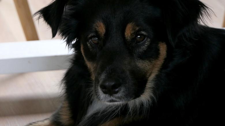 Hond - Hond Tommie, meegenomen uit Griekenland als zwerfhond. Na 3 jaar helemaal ingeburgerd, lief, gehoorzaam en nieuwsgierig.