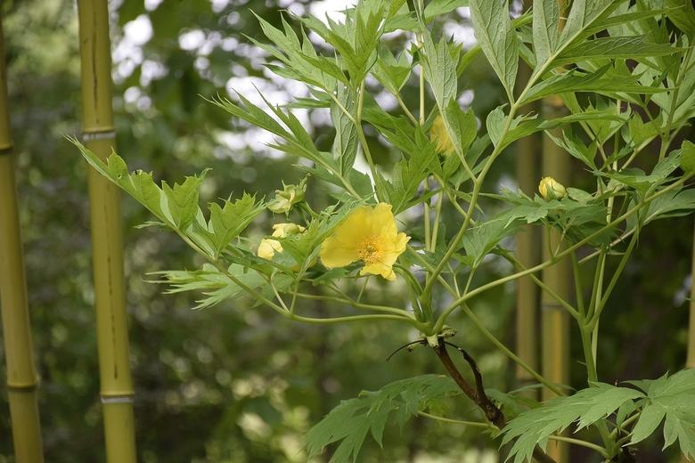 fris groen gebladerte ,met zacht gele bloem .