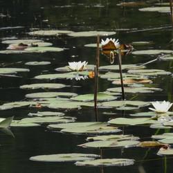 Weertse waterlelies :-)