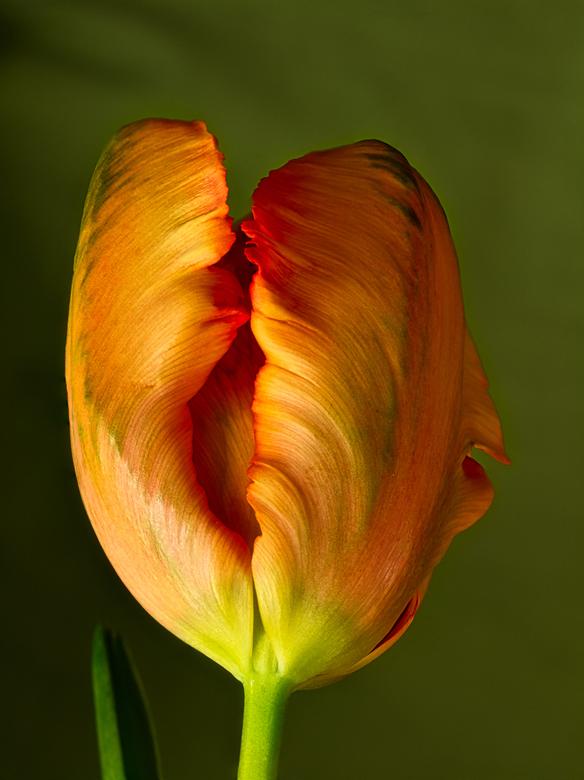 Tulp - Lentegevoel met deze tulp in het zonnetje