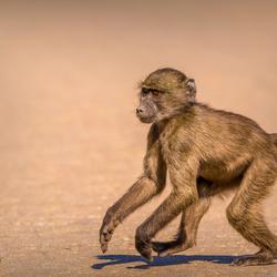 Namibische baviaanpuber