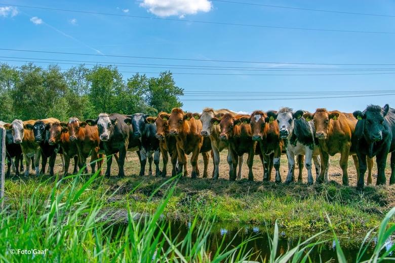 17 koeien op een rij - 17 jonge koeien op een rij die heerlijk iedereen die langs kwam aan het bekijken waren