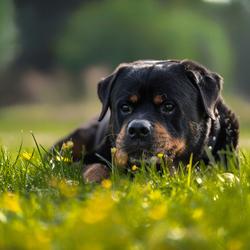 Rottweiler in het gras