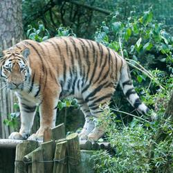 Tijger in Amersfoortse dierentuin