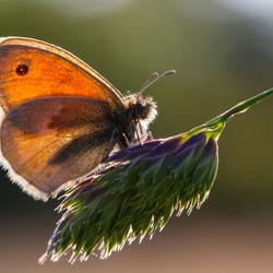 Doorzichtige vlinder bij tegenlicht