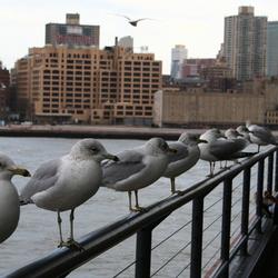 Meeuwen in NY