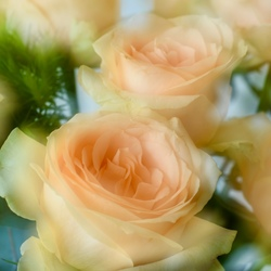 Dream Roses