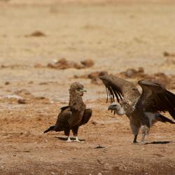 Young Tawny eagle en Vulture Botswana