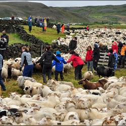 IJsland: Schaapssortering...III