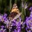 Vlinder geniet van de zomer op lavendel