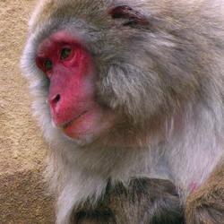 Spiedende  makaak