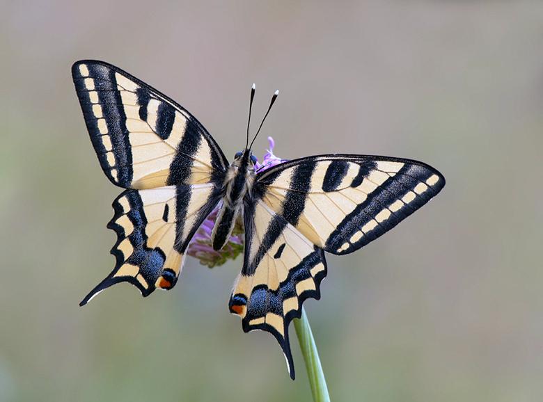 Zuidelijke koninginnenpage  -  De Zuidelijke koninginnenpage wordt vaak bij heuveltoppen gezien waar mannetjes en vrouwtjes elkaar ontmoeten; dit gedr