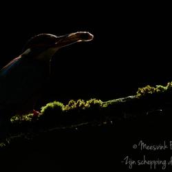 Tegenlichtopname van de ijsvogel