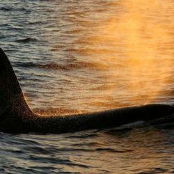 Orka ademt uit in zon tegenlicht