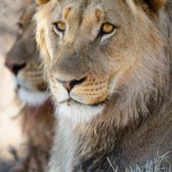 2 lions in the Khalahari NP