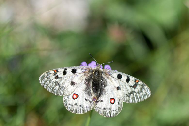 Alpen apollovlinder - Tijdens onze vakantie in Oostenrijk heb ik het geluk gehad deze pracht van een vlinder tegen te komen én op de foto te zetten! I