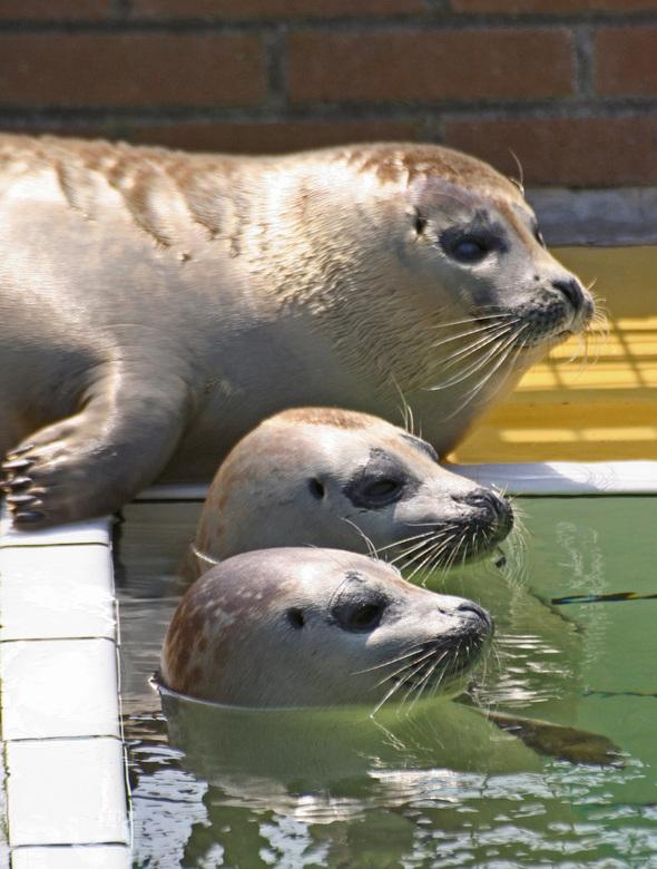 samen - Op een warme voorjaarsdag - al weer een poos terug - genoten deze 3 zeehonden van het water en de zon in het opvangcentrum in Pieterburen.