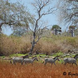 Zebra's in Selous