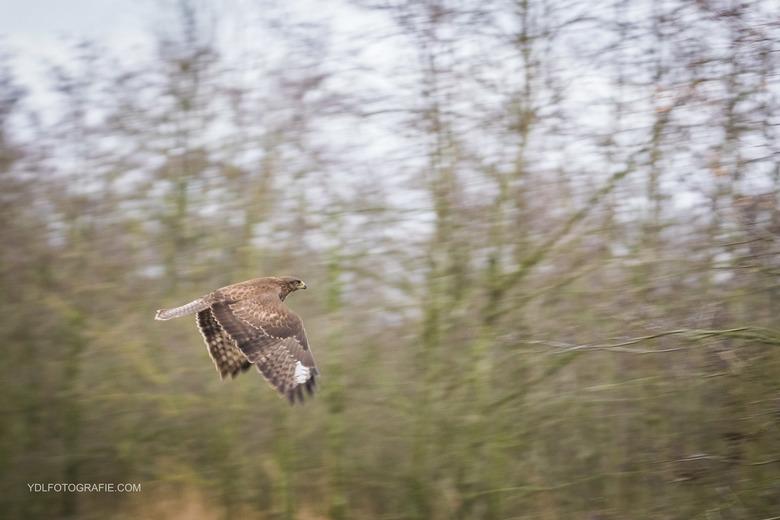 Buizerd in vlucht -