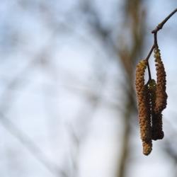 detailfoto van een berkenboom