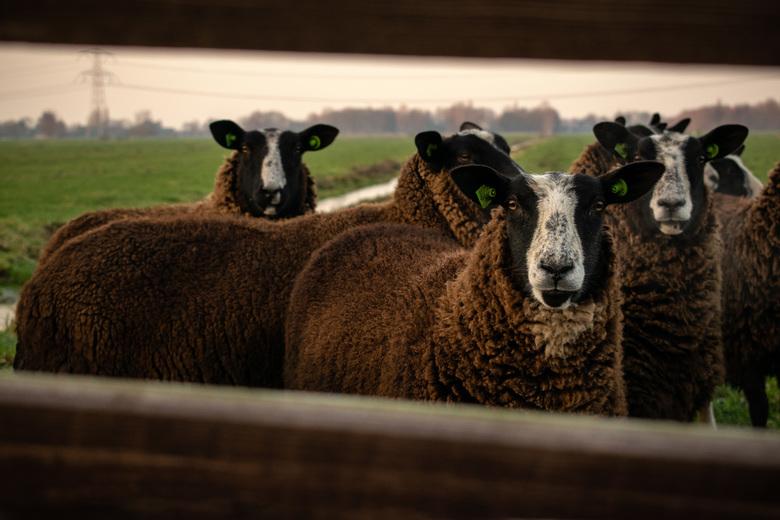 Nieuwsgierige schapen -
