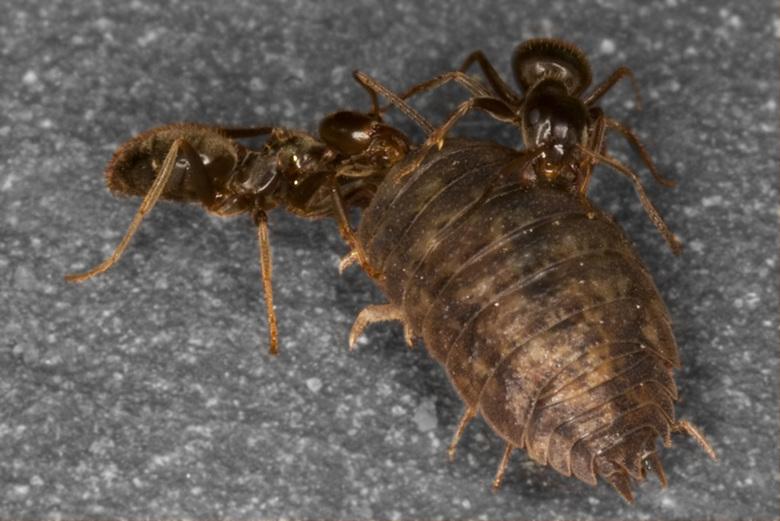 Mieren op strooptocht -