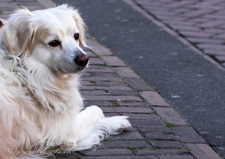 _Hond  - Hond