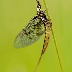 Haft- Ephemeridae