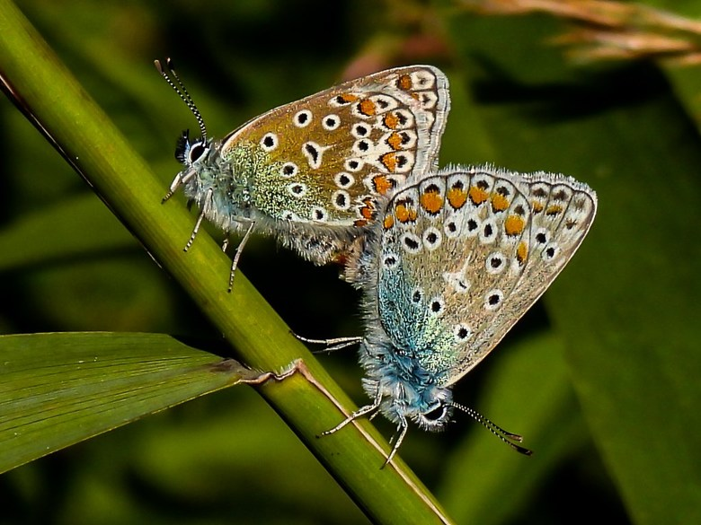 Icarusblauwtje 1 - Icarusblauwtje(s)