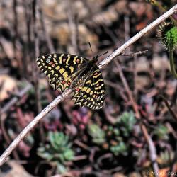 Spaanse pijpbloemvlinder (Zerynthia rumina)