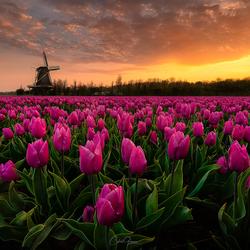 An amazing sunrise among the purple tulips