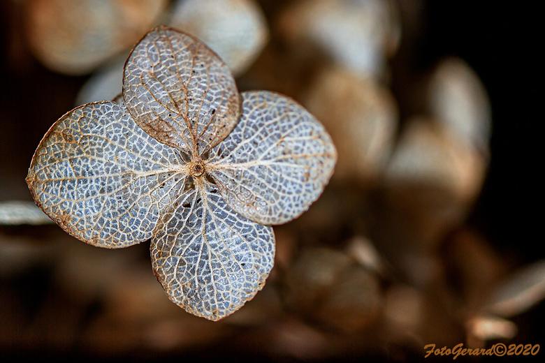 Hortensia - Een Hortensia in winterstand.<br /> <br /> Ben een heel lange tijd niet online geweest en niet gefotografeerd. Lopen met een zware spieg