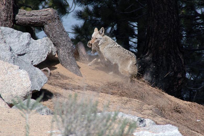 Jagende Coyote
