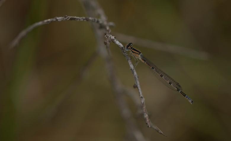 Dragonfly - Deze libelle poseerde braaf voor de foto.