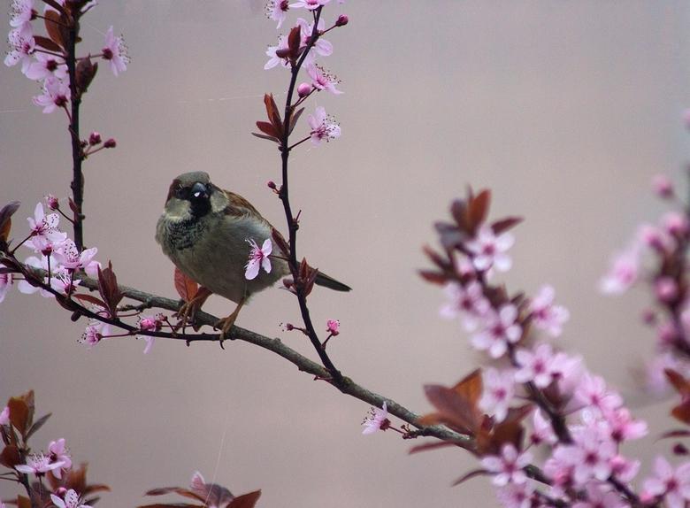 Mus eet bloesem - Deze mus eet de lentebloesem van de kerspruim op. De achtergrond is egaal door de mist.