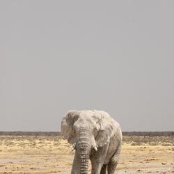Olifant in Etosha