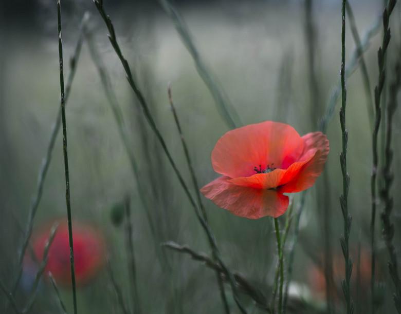 Another poppy... - 20140627-DSC_8089.jpg