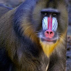 een aap