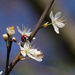 Lieveheersbeestje in de bloesem